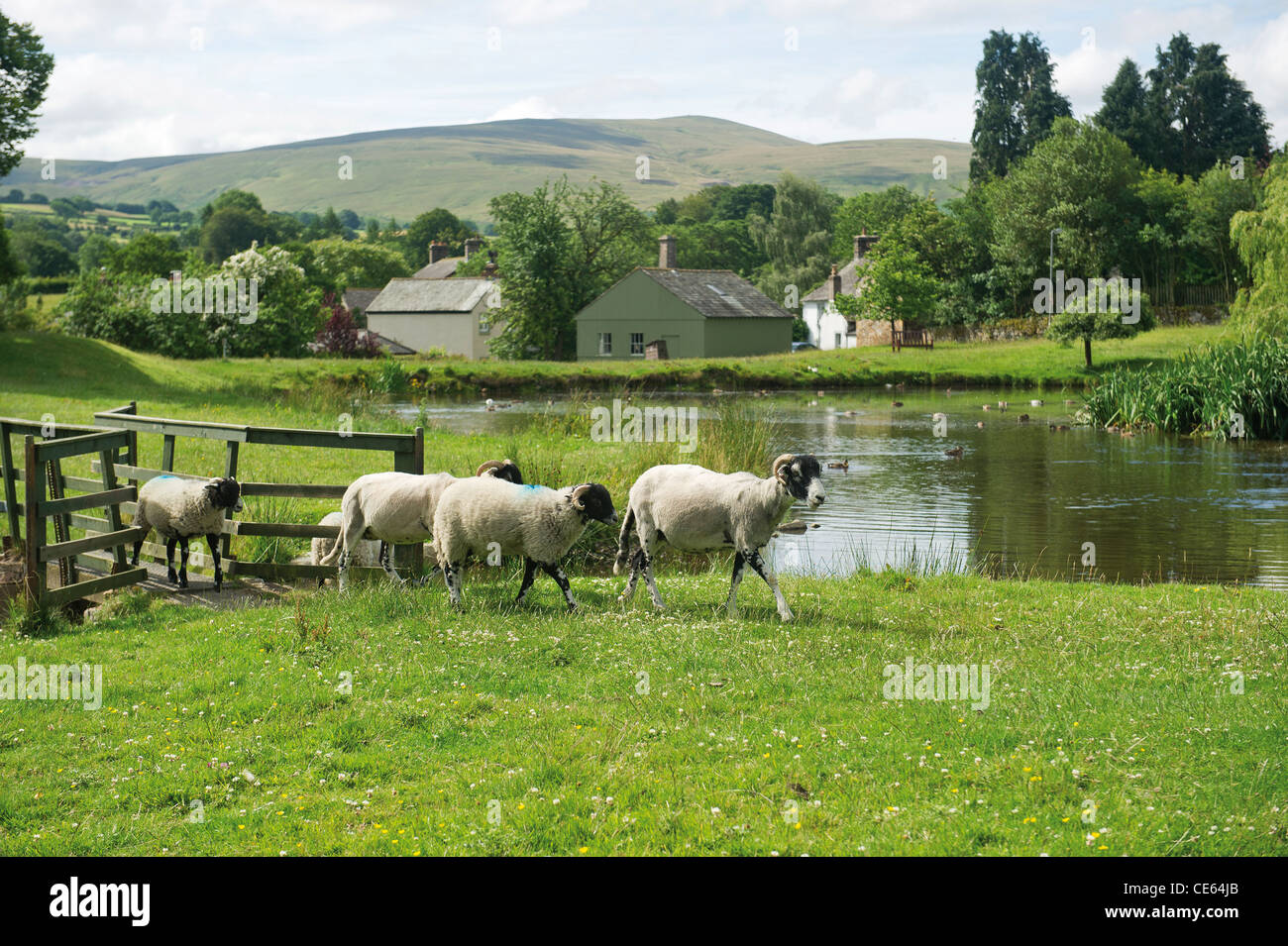 The duck pond and sheep in Caldbeck Cumbrian Village Lake District UK English Countryside - Stock Image