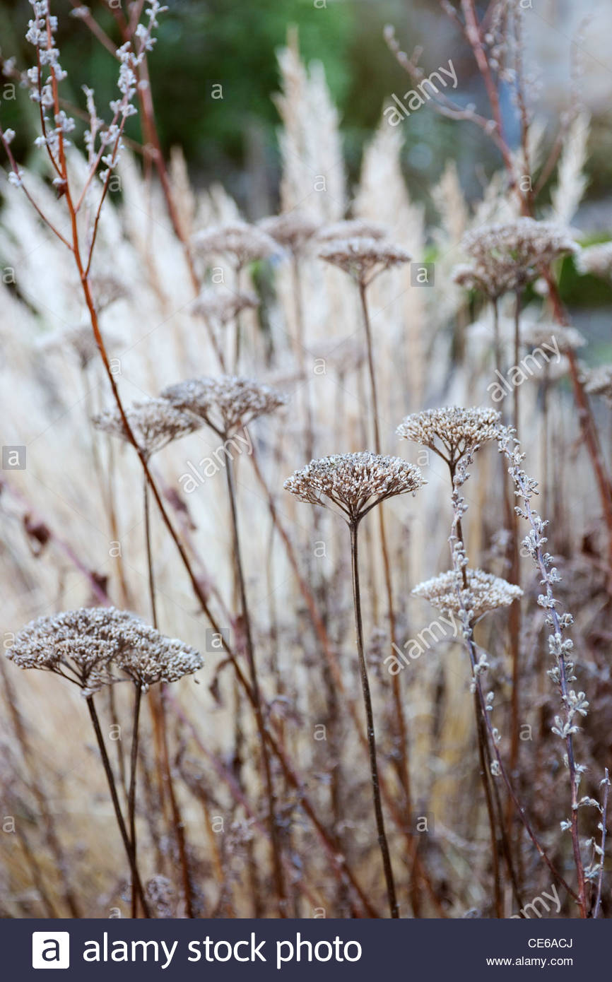 Achillea filipendulina 'Goldplate' with Monarda didyma 'Gardenview Scarlet' seedheads in winter - Stock Image