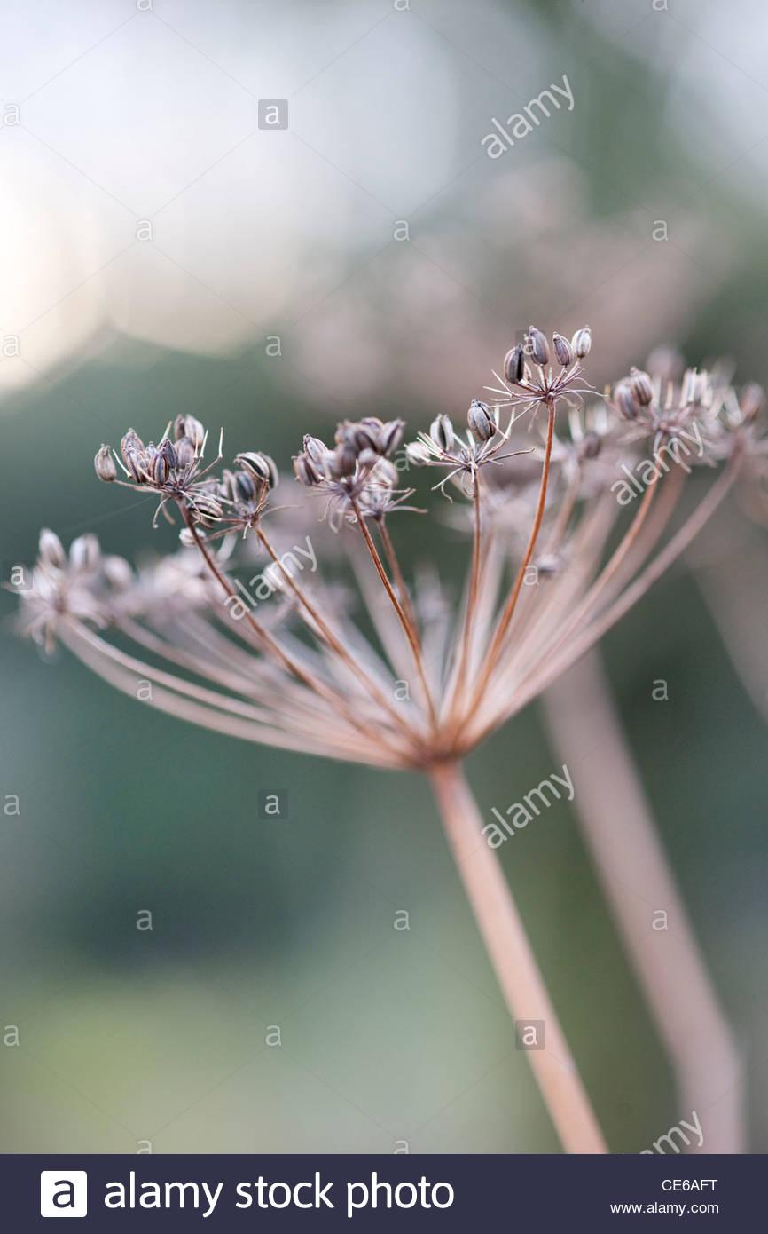 Foeniculum vulgare 'Bronze Form' (bronze fennel) dried seedheads in winter - Stock Image