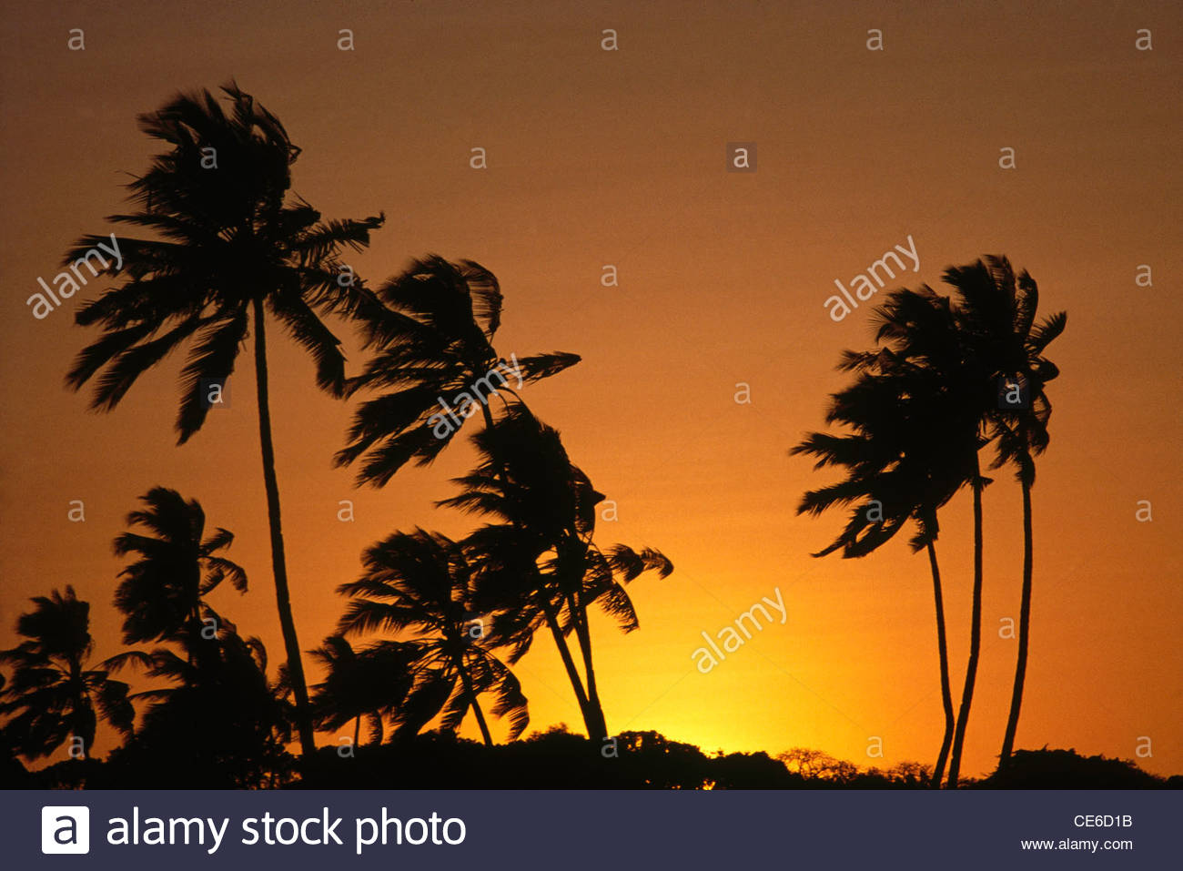 wind windy breeze breezy palm trees at sunset kerala india - Stock Image
