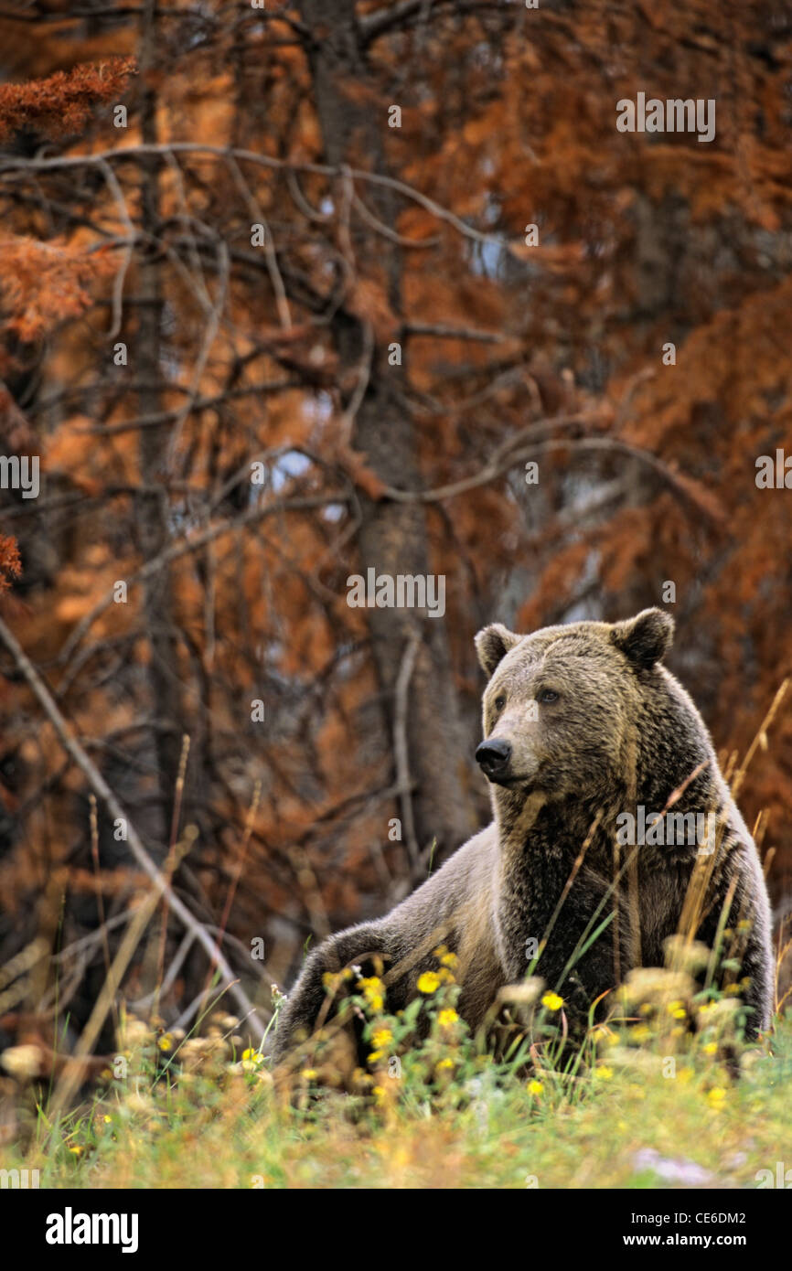 Grizzly Bear, Flowers, Burned Forest - Stock Image