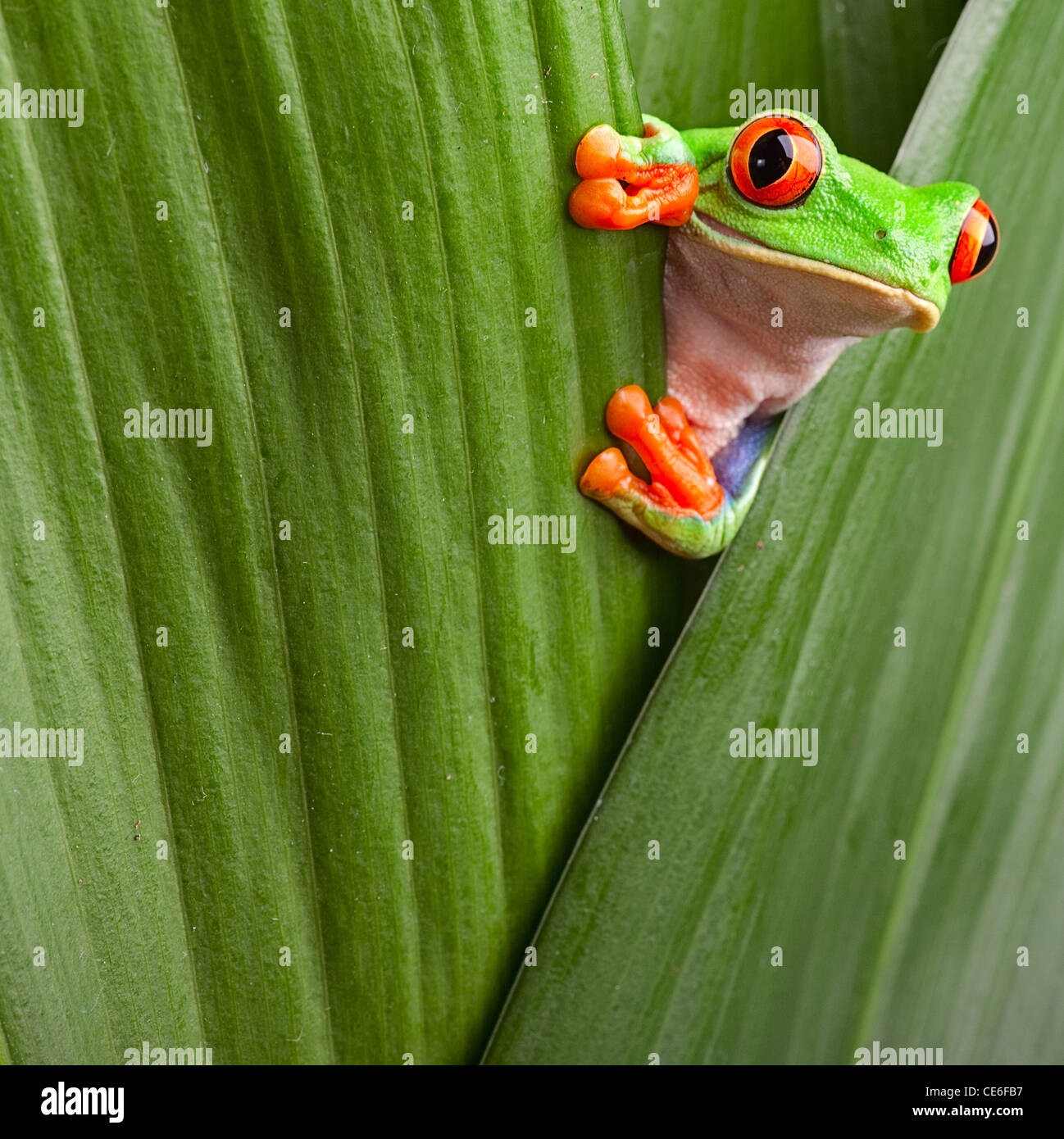 red eyed tree frog, Agalychnis callidrias curious treefrog in rainforest Costa Rica hiding between green leafs - Stock Image