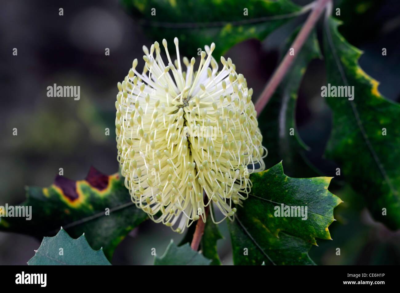 Banksia Integrifolia white flower bloom blossom tree dark green leaves Beach Coast Banksia white bottlebrush - Stock Image