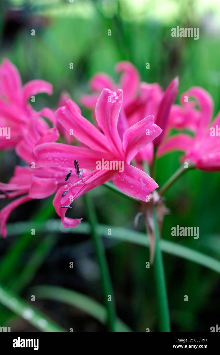 large flowered nerine zeal giant agm closeup selective focus october plant portraits bulbs autumn autumnal flowers - Stock Image