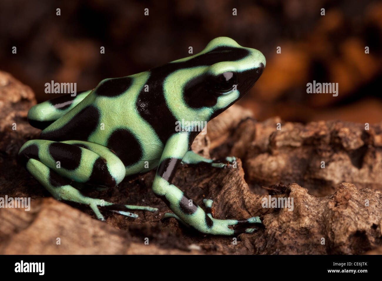 golden poison dart frog dendrobates auratus poisonous animal with bright warning colors lives in tropical rainforest - Stock Image