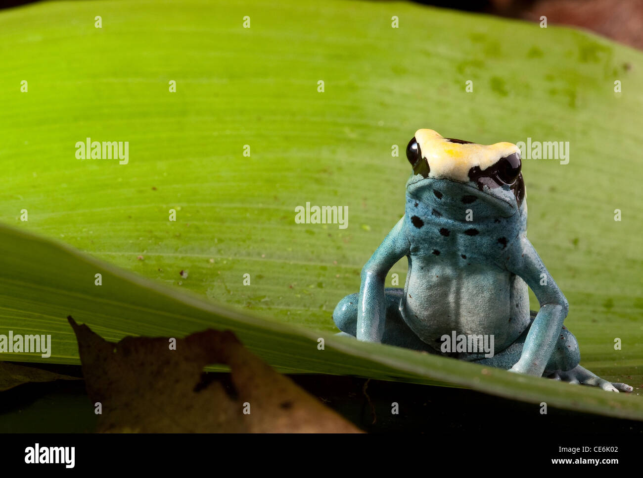 poison frog, Dendrobates tinctorius tropical rainforest animal on green leaf - Stock Image