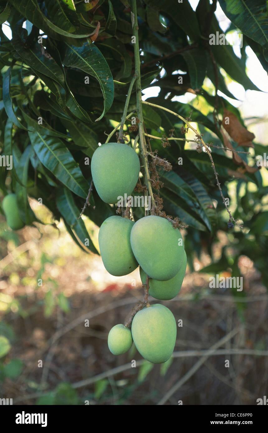 alphonso mangoes tree ratnagiri maharashtra india CE6PP0