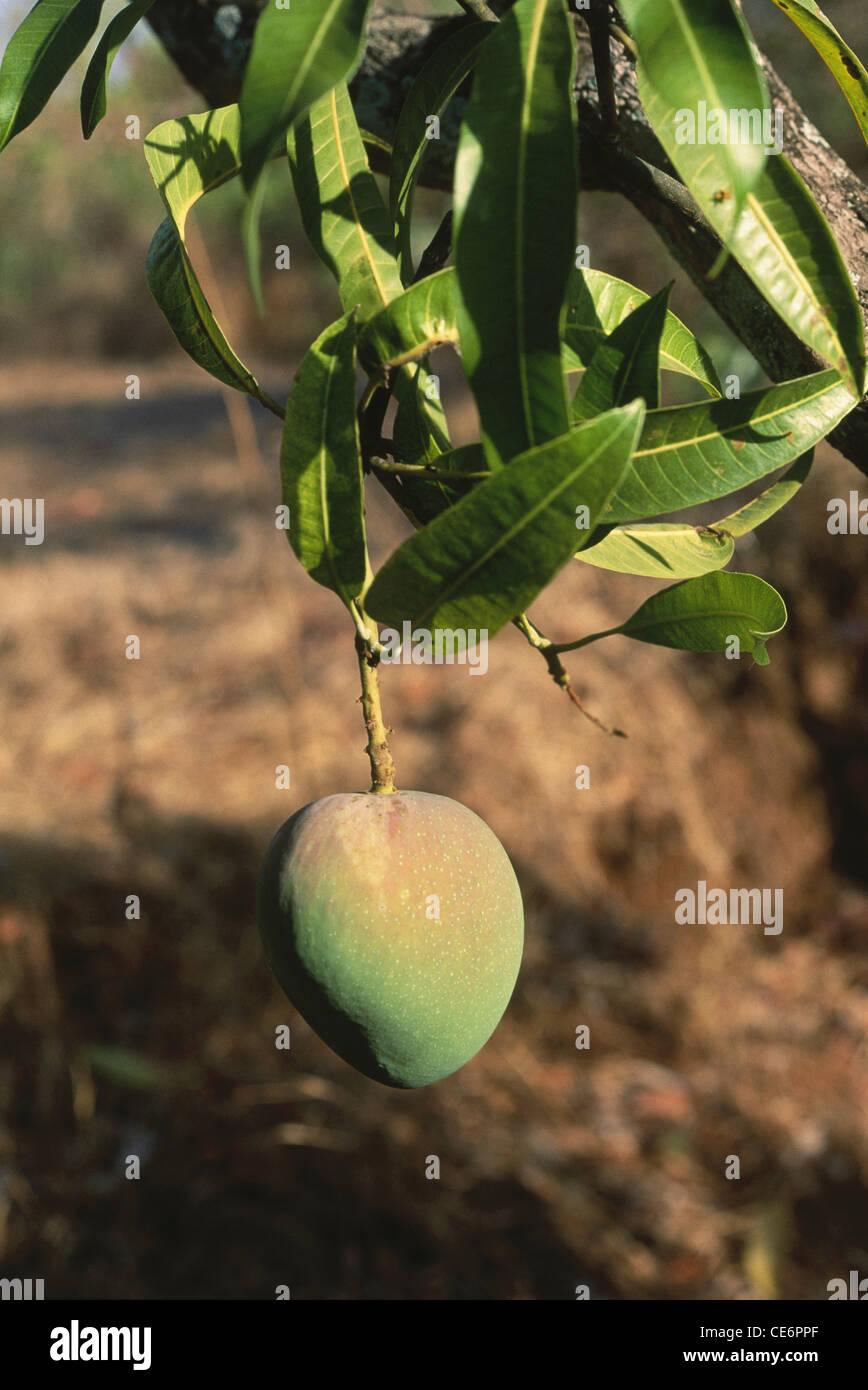 mango fruit on tree alphonso mango fruit tree king of the fruits ratnagiri CE6PPF