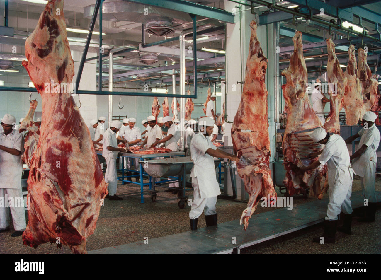 HMA 85802 : skilled worker handling hanging carcasses in hygenic mechanised slaughter house for exporting meat maharashtra - Stock Image