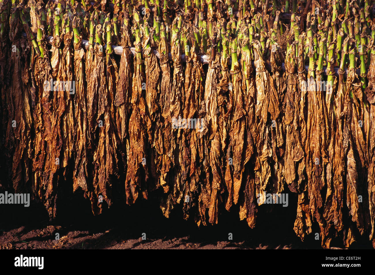 MAA 85890 : harvested tobacco leaves being dried in the sun ; india - Stock Image