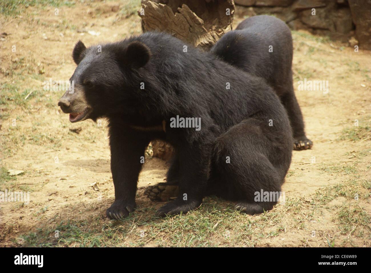 VIT 83212 : himalayan black bear ; india - Stock Image