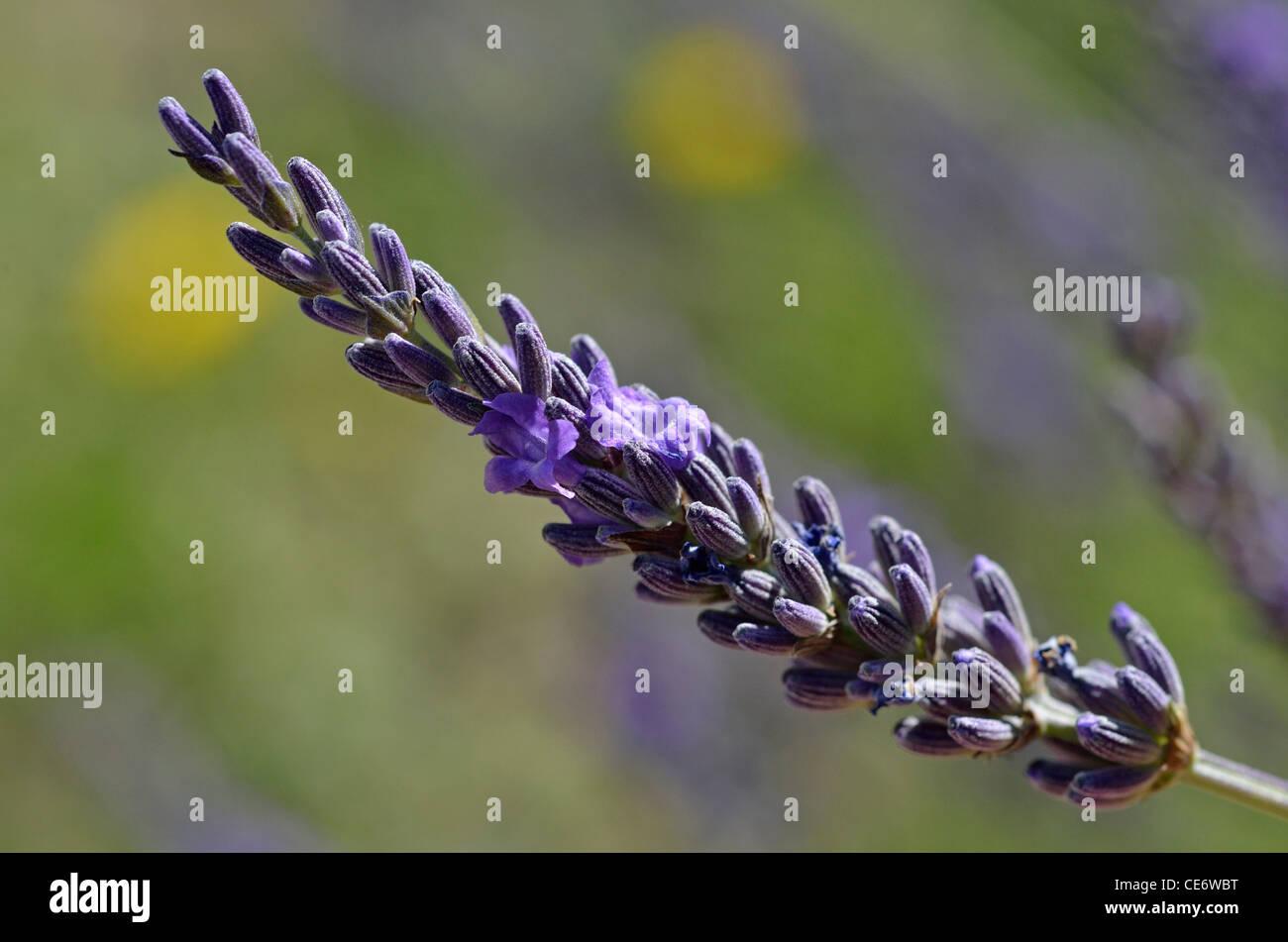 Lavender flower - Lavandula - close-up, Provence, France - Stock Image