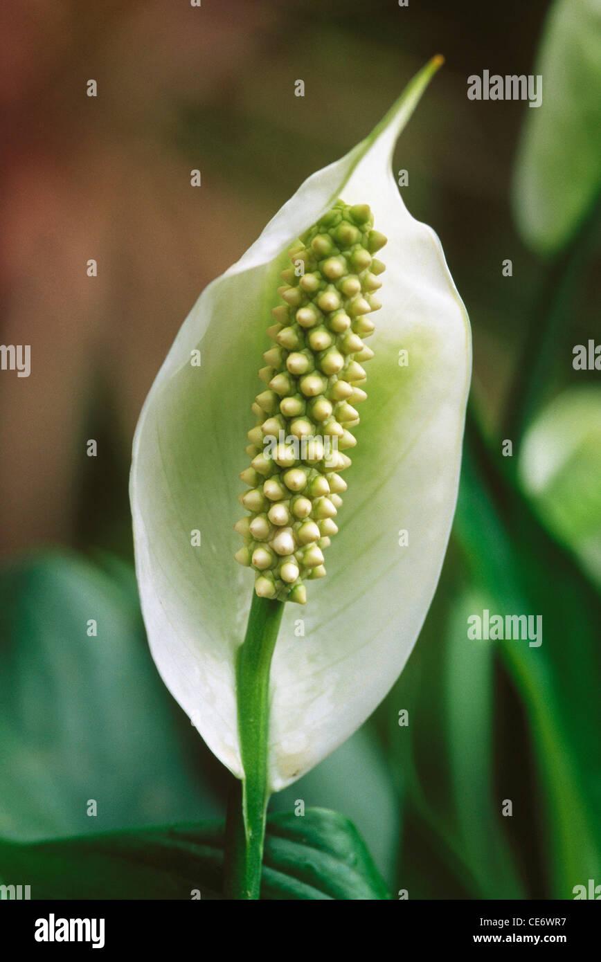 Hma 86148 White Anthurium Flower Plant India Stock Photo 43177883