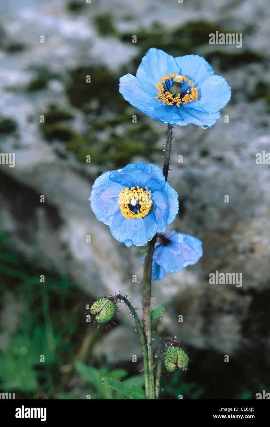 Himalayan flower blue poppy meconopsis betonicifolia valley of himalayan flower blue poppy meconopsis betonicifolia valley of flower uttaranchal india mightylinksfo