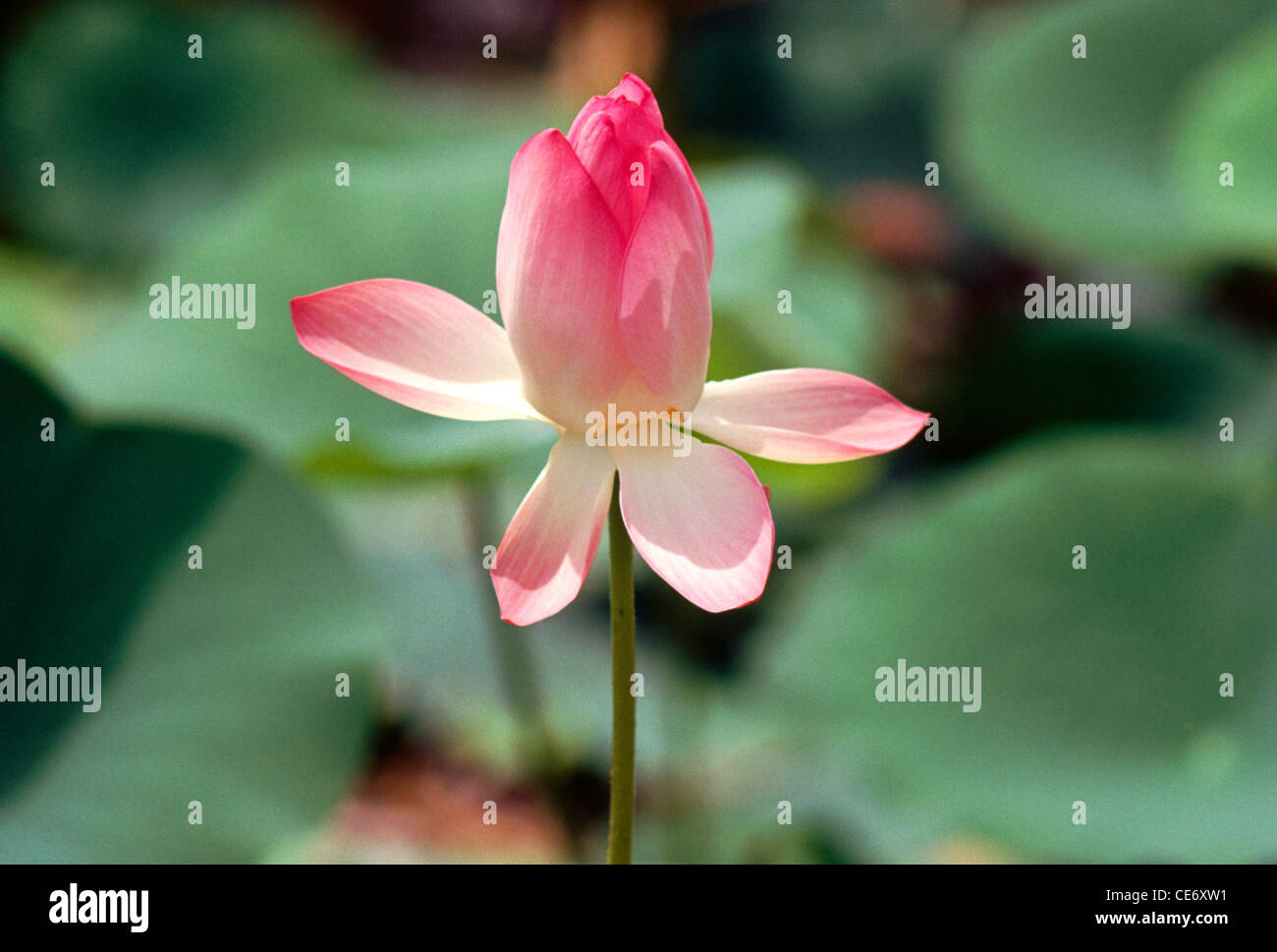 Pink And White Lotus Flowers In The Pond Stock Photos Pink And