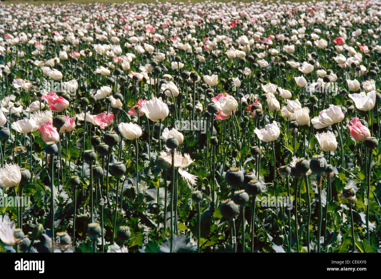 Sns 86258 Indian Opium Poppy Plant Flower Rajasthan India