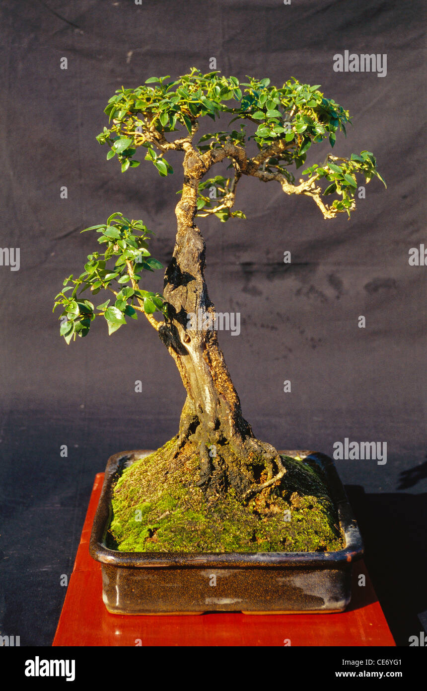 Night Flowering Jasmine Bonsai Tree Nyctanthes Arbor Tristis Stock Photo Alamy