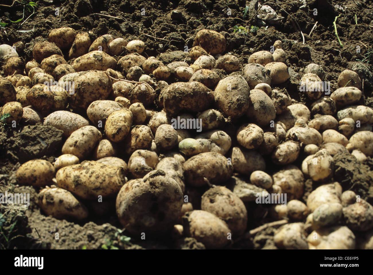 AAD 83814 : Vegetable potatoes ; bharmour ; chamba ; himachal pradesh ; india - Stock Image