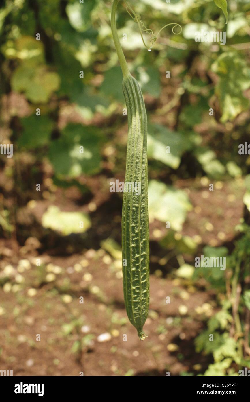 ADC 83801 : Vegetable growing ridge gourd plant turai turiya india ...