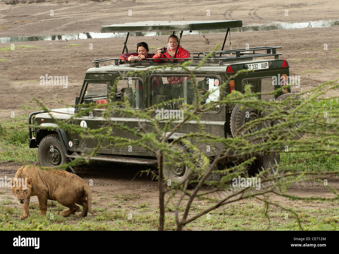 People looking out of the extended roof of Land Rover on safari looking at lion - Stock Image