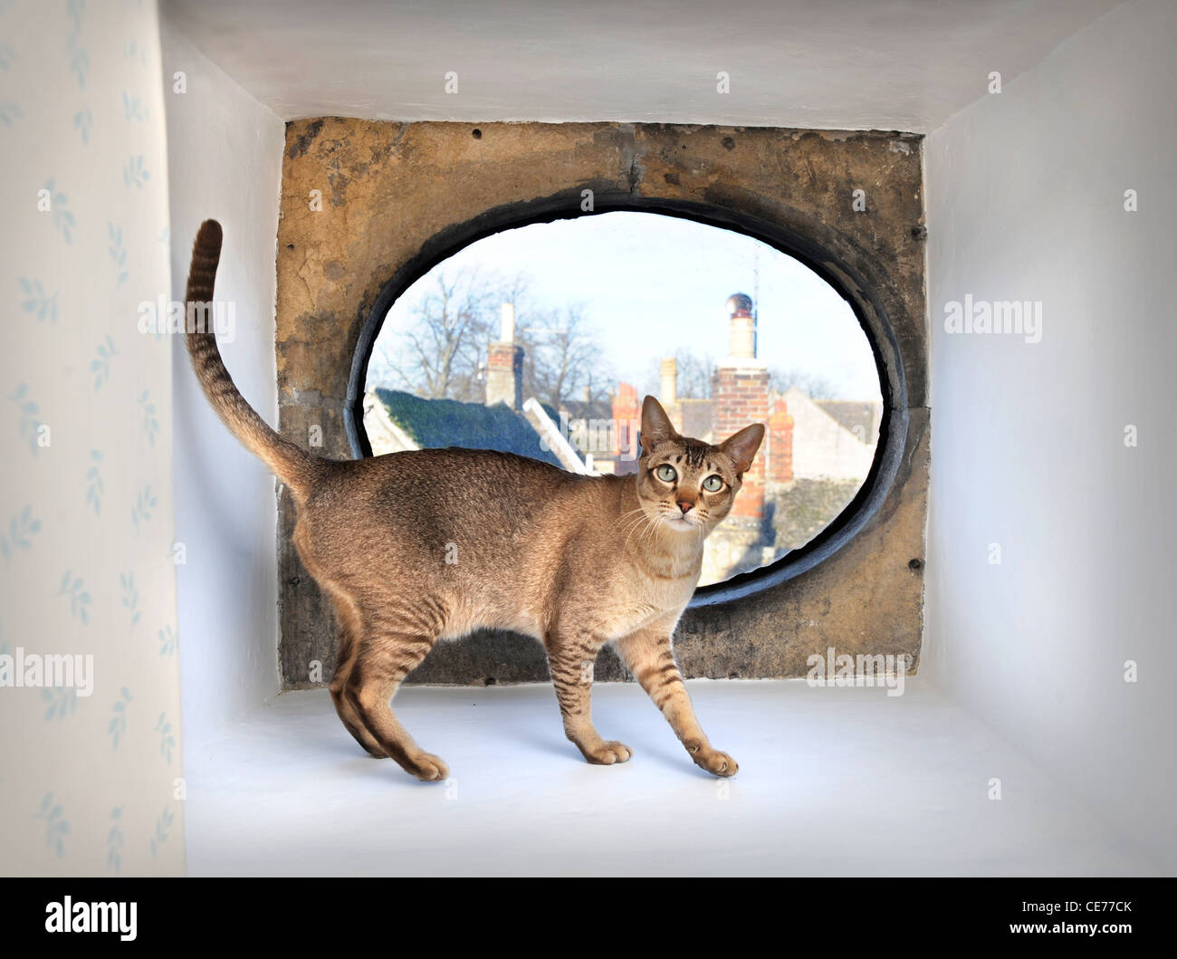 A pet cat in a window alcove of a period town house, Gloucestershire UK - Stock Image