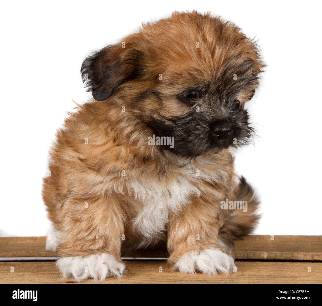 Best Fluffy Brown Adorable Dog - a-cute-brown-fluffy-puppy-sitting-on-a-plank-and-looking-down-isolated-CE7B8M  Pic_975466  .jpg
