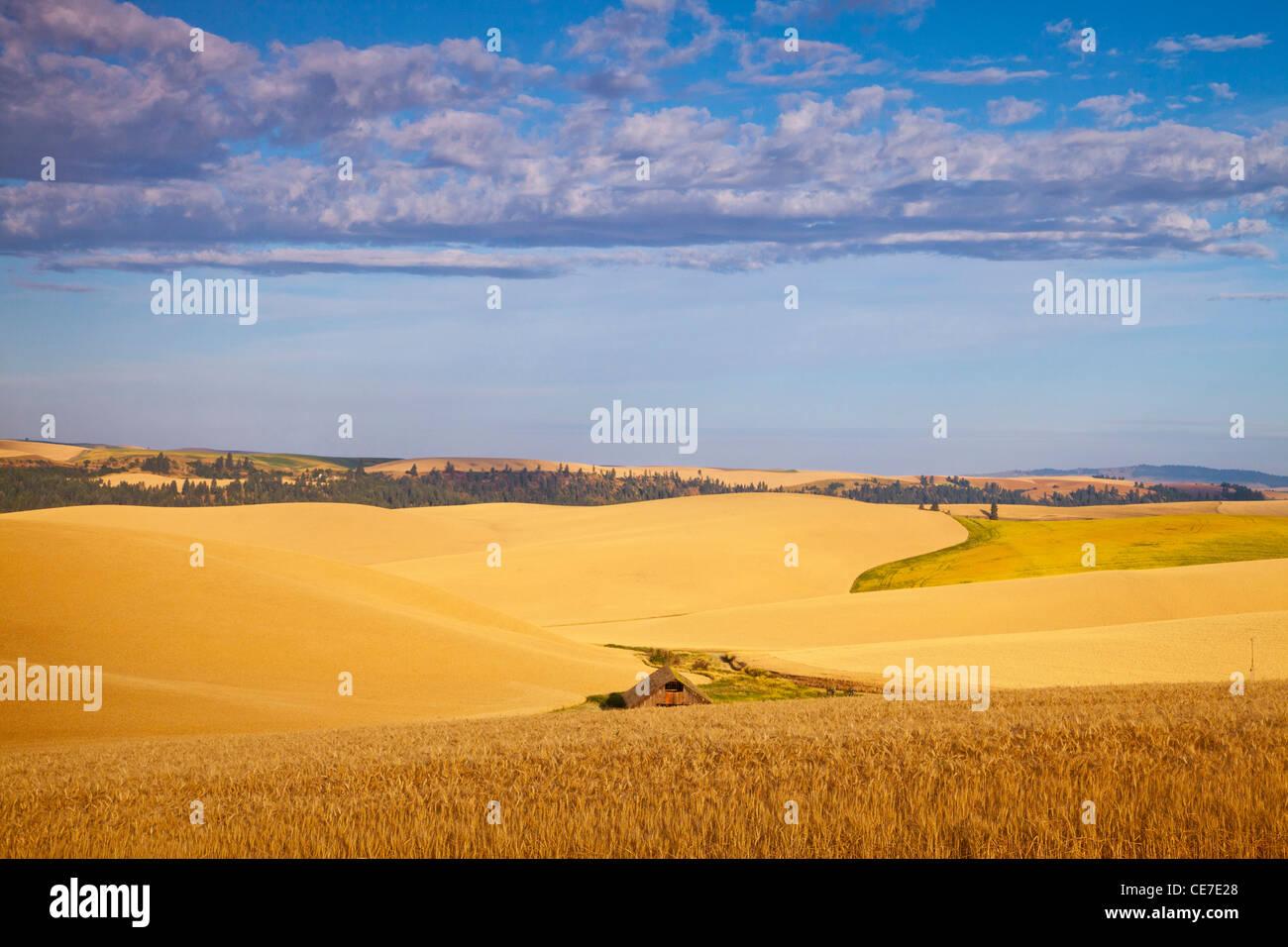 Ripe wheat fields near Kendrick, Idaho, USA - Stock Image