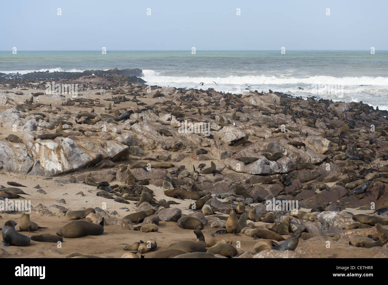 Colony of Cape Fur Seals at Cape Cross, Namibia. - Stock Image