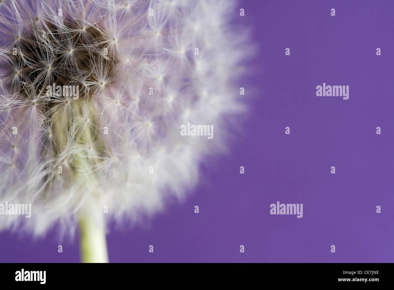 Dandelion clock, Taraxacum officinale, White, Purple. Stock Photo