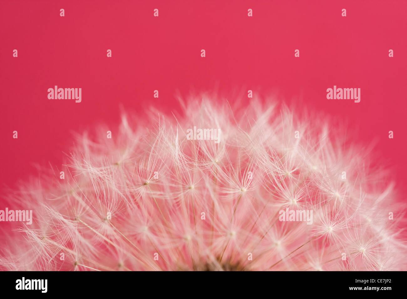 Dandelion clock, Taraxacum officinale, White, Red. Stock Photo
