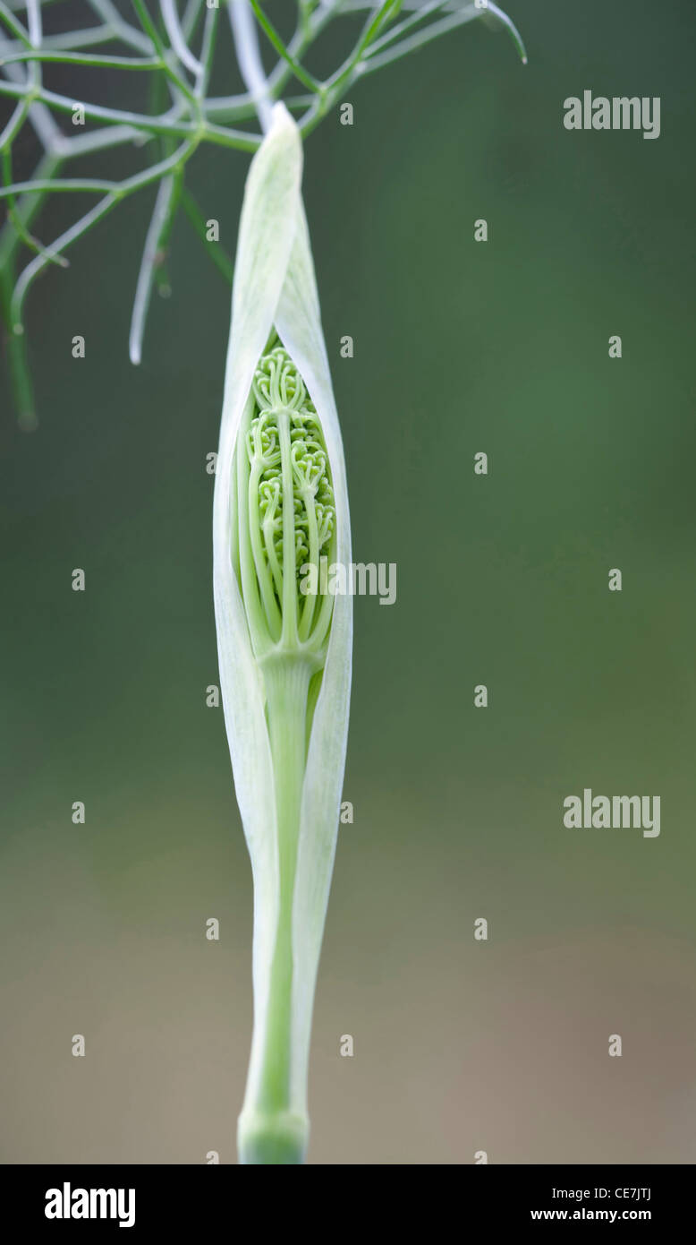 Fennel, Bronze fennel, Foeniculum vulgare 'Purpureum', Green. - Stock Image