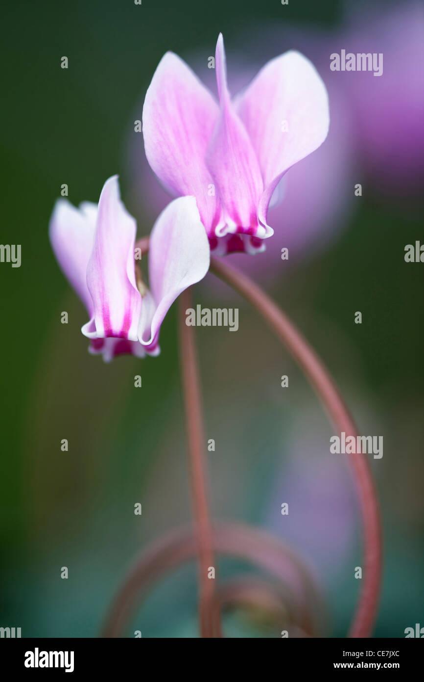 Cyclamen hederifolium, Pink flower - Stock Image