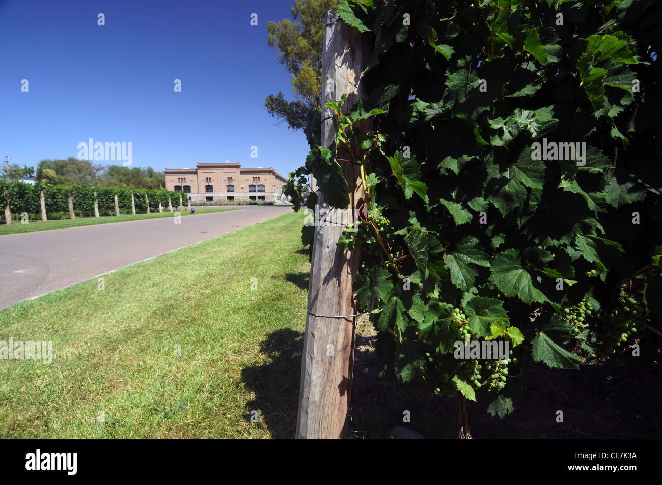 Grapes on vines at Trapiche winery, Mendoza, Argentina. No PR - Stock Image