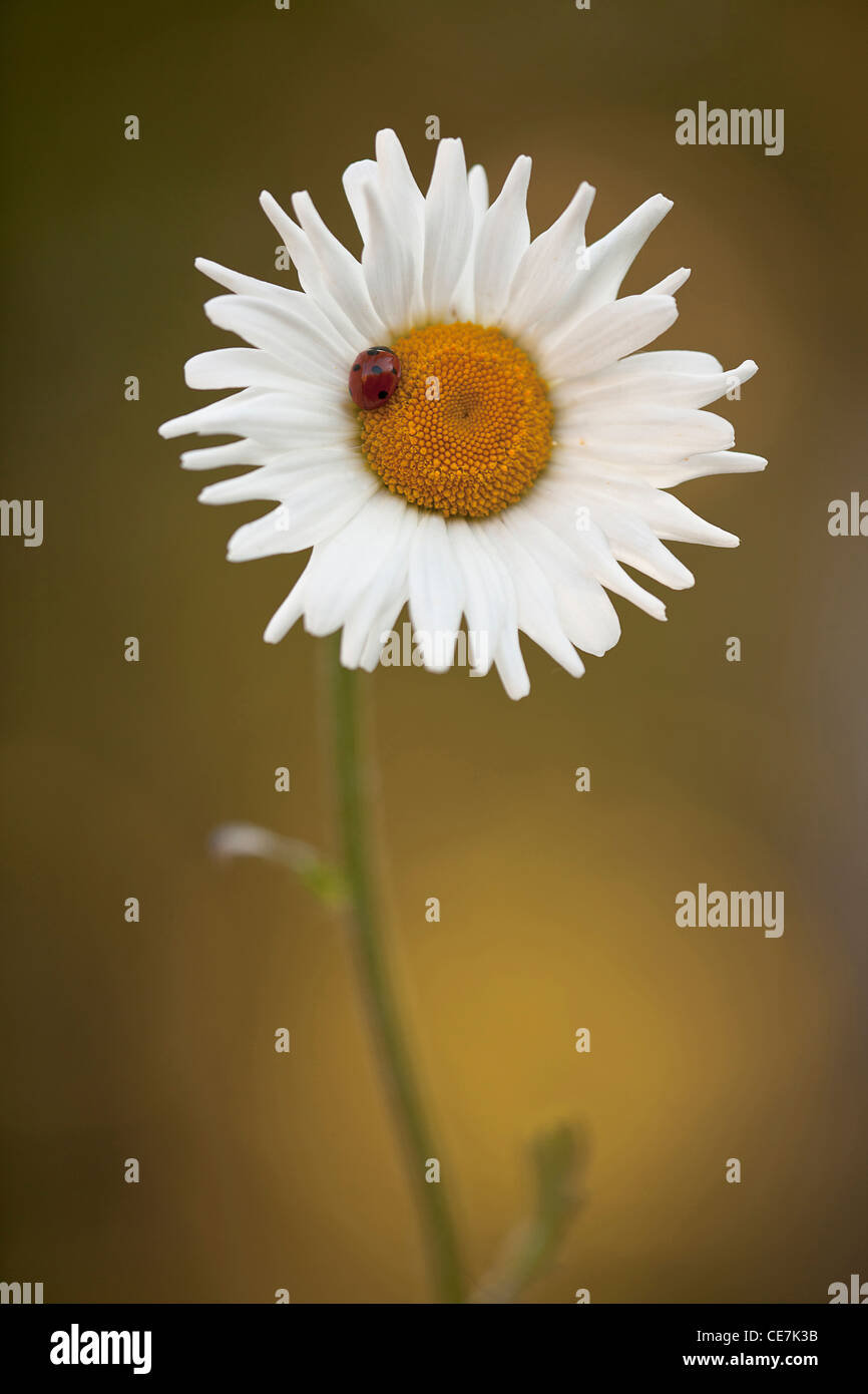 Daisy, Ox-eye daisy, Leucanthemum vulgare, White. Stock Photo