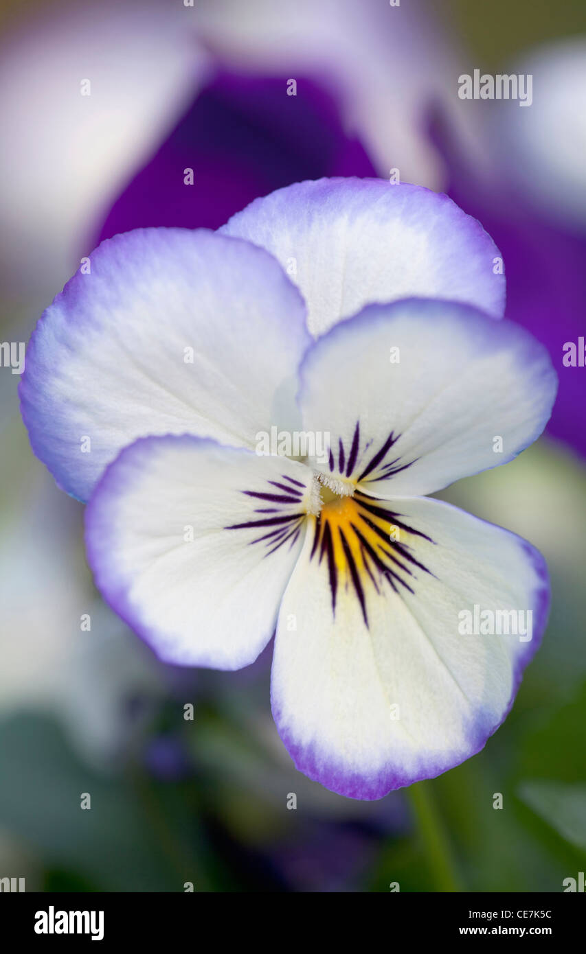 Viola, Viola 'Sorbet Ocean Breeze', White. - Stock Image