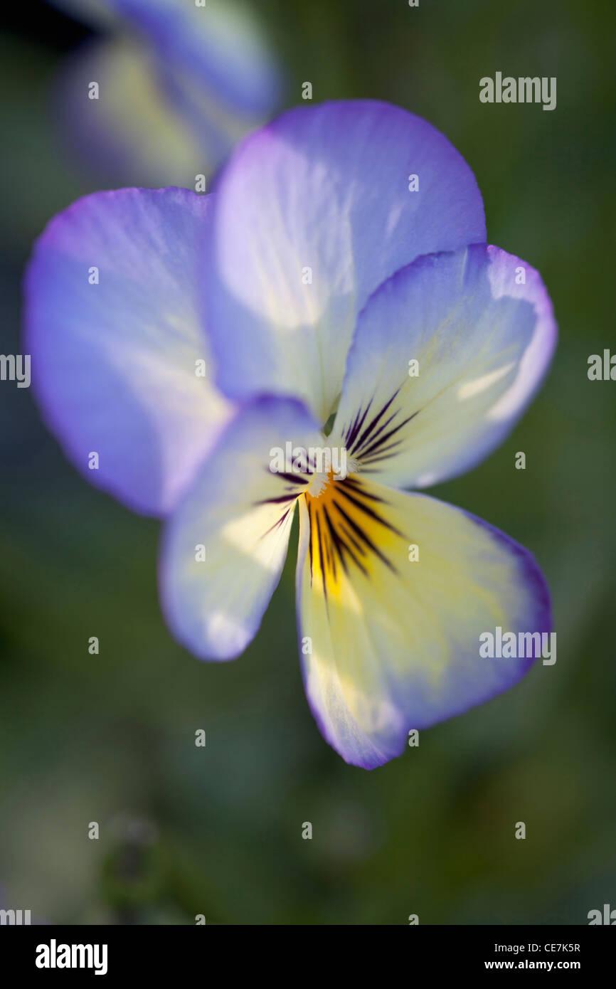 Viola, Viola 'Sorbet Ocean Breeze', Blue. - Stock Image