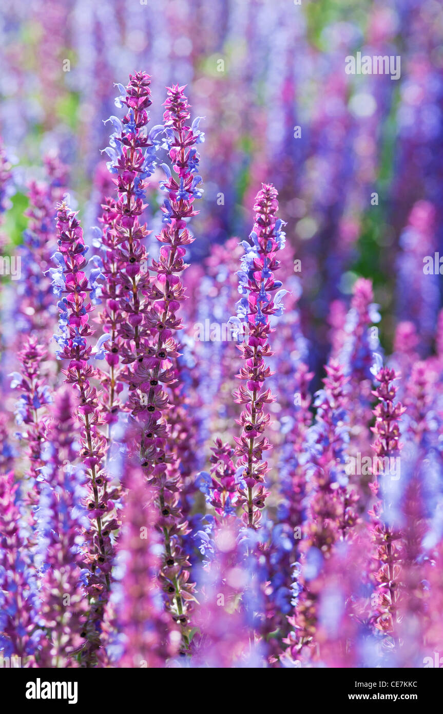 Sage, Salvia nemorosa 'Ostfriesland', Massed purple flower spikes. - Stock Image