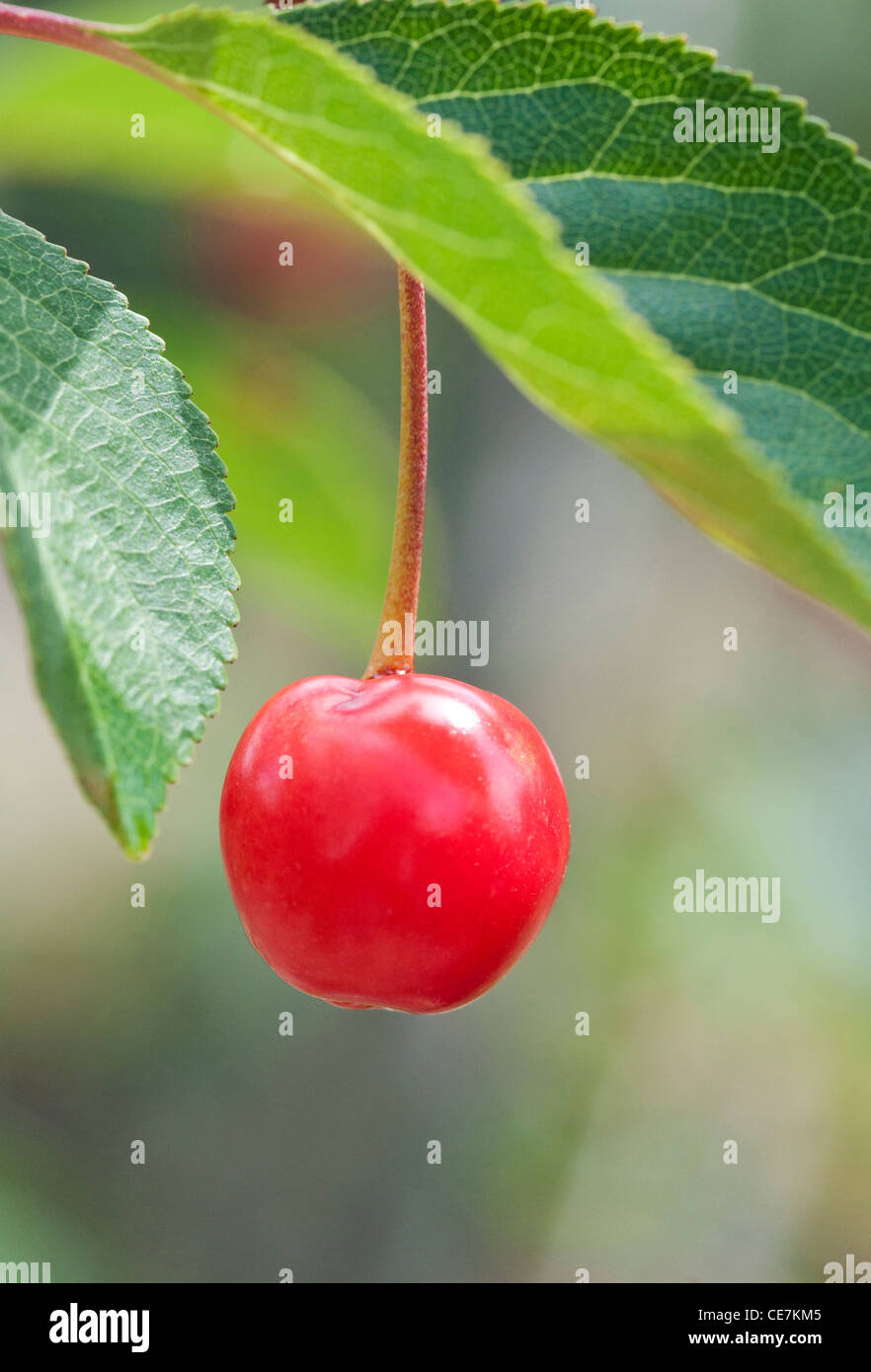 Single ripe bright red fruit hanging down from the branch of a Prunus cerasus 'Nabella' Acid Cherry tree. - Stock Image