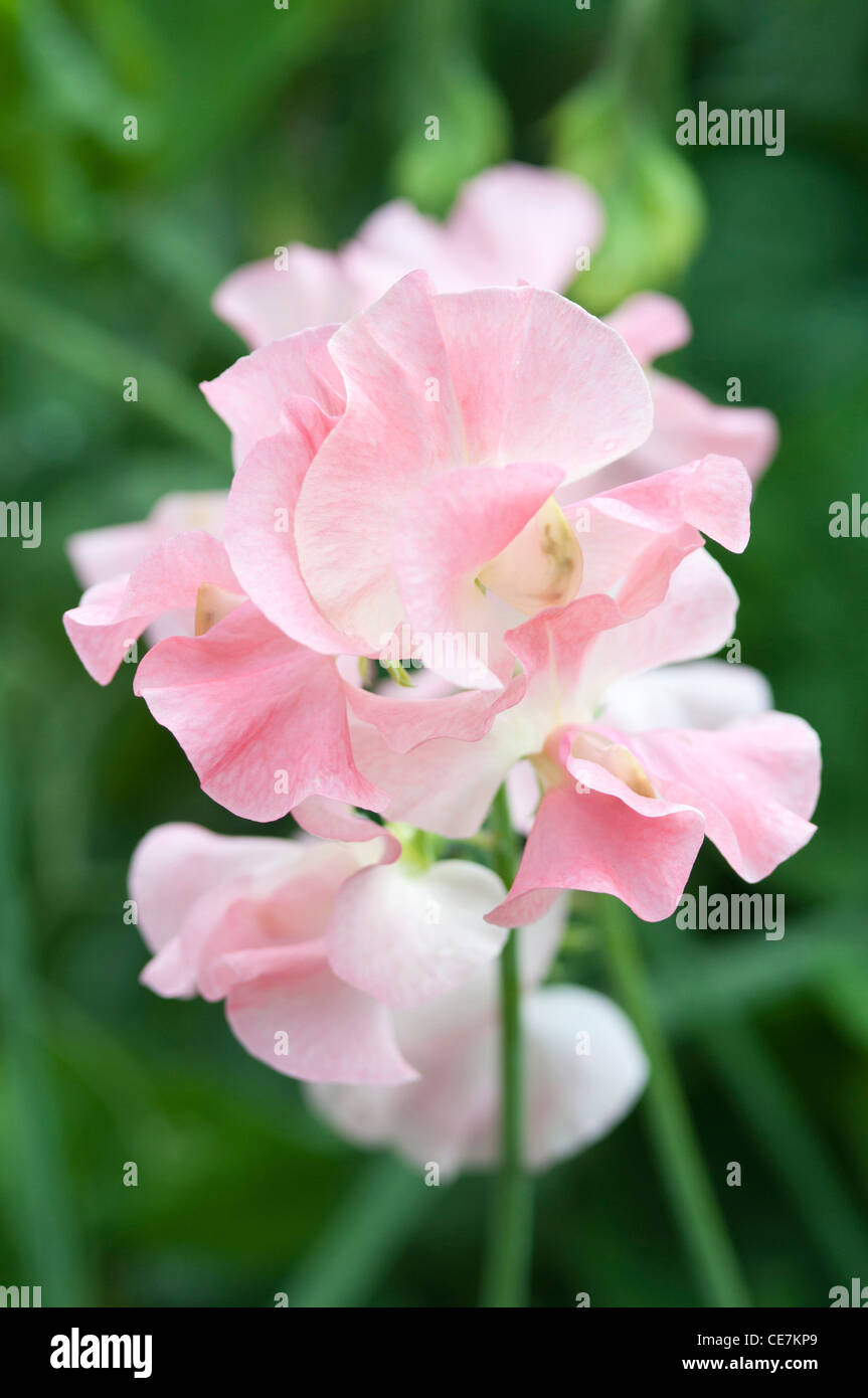 Pink flowers of Sweet pea Lathyrus odoratus cultivar against a green leafy background. - Stock Image