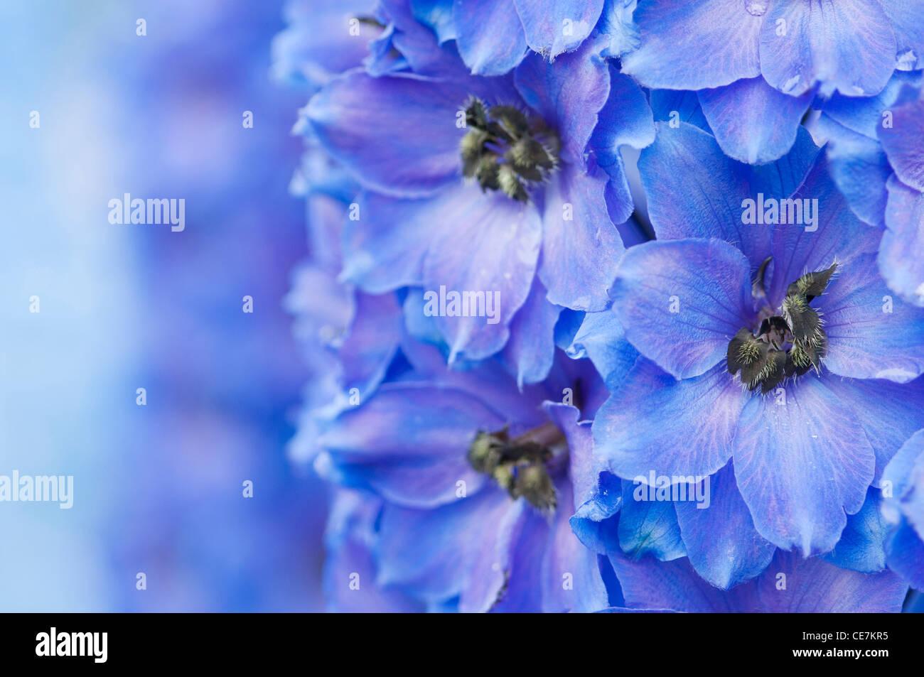 Delphinium Close Up Stock Photos Delphinium Close Up Stock Images