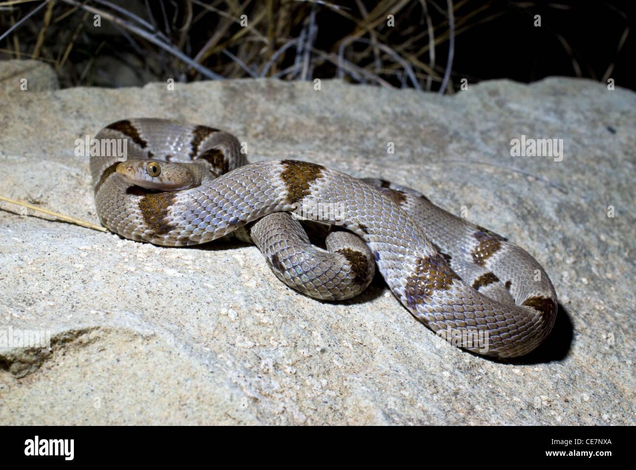 Chihuahuan Lyre Snake, (Trimorphodon vilkinsonii), Sierra county, New Mexico, USA. - Stock Image