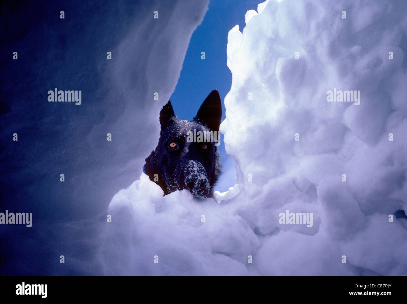 Under snow view of search and rescue dog, from buried skier, avalanche victim, awaiting rescue under the snow. - Stock Image