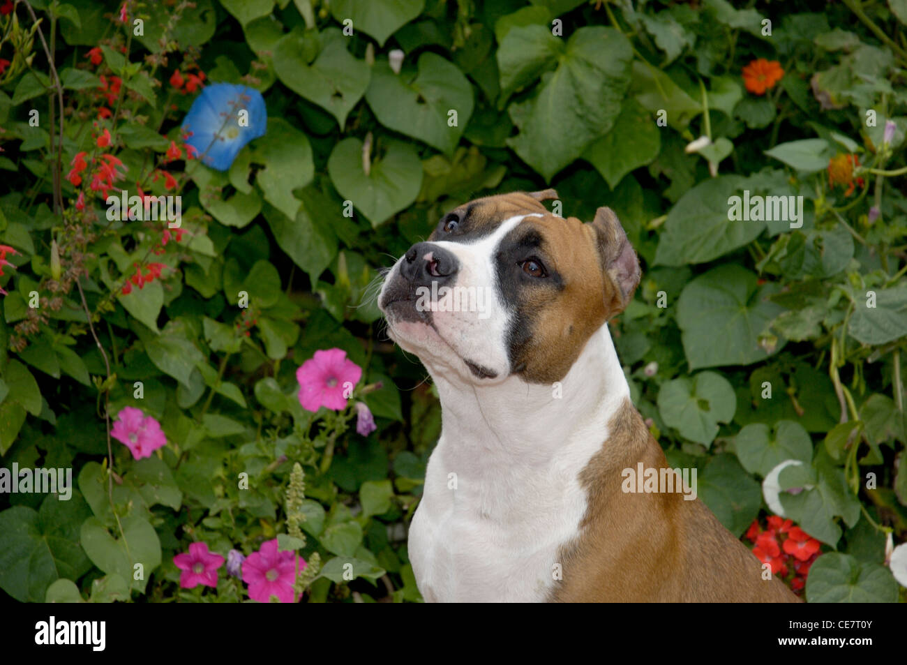 American Staffordshire Terrier-Head shot - Stock Image