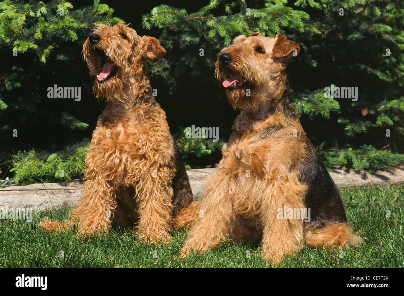 Two Airedale Terriers sitting - Stock Image