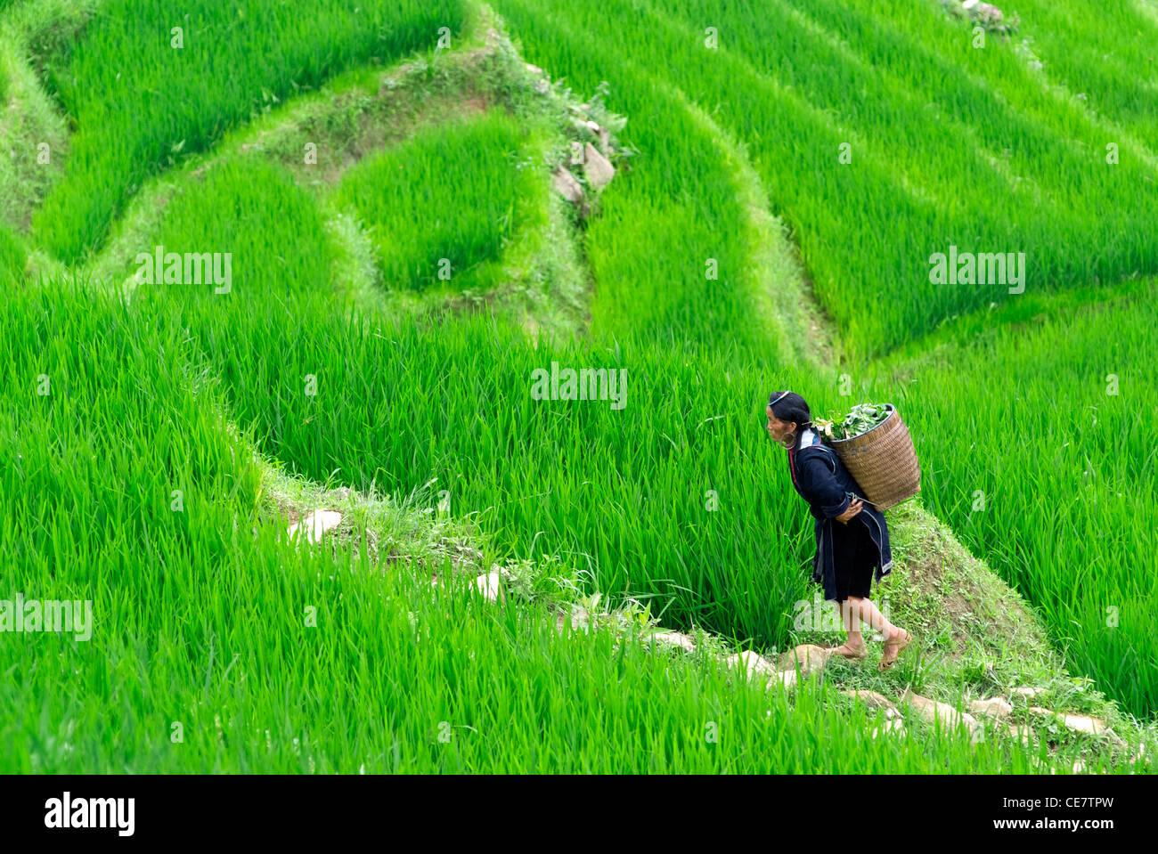 A hilltribe woman walks through paddy fields in Sapa Vietnam - Stock Image