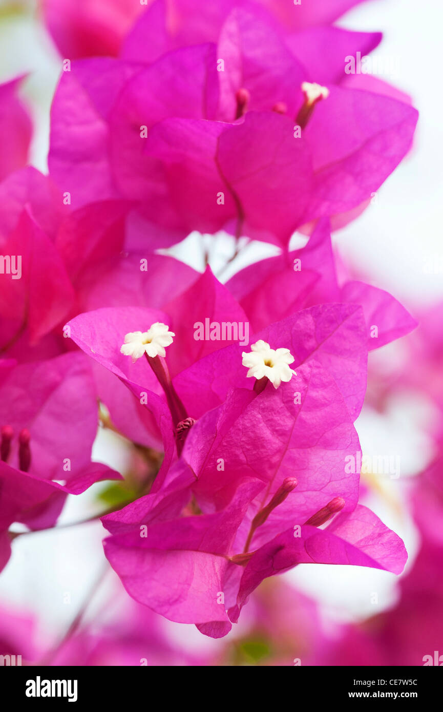 Bougainvillea spectabilis flowers and bracts - Stock Image