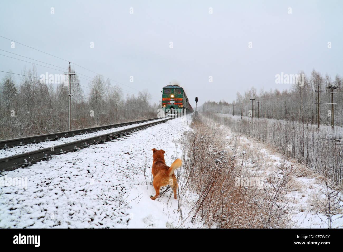redhead dog will attack train Stock Photo