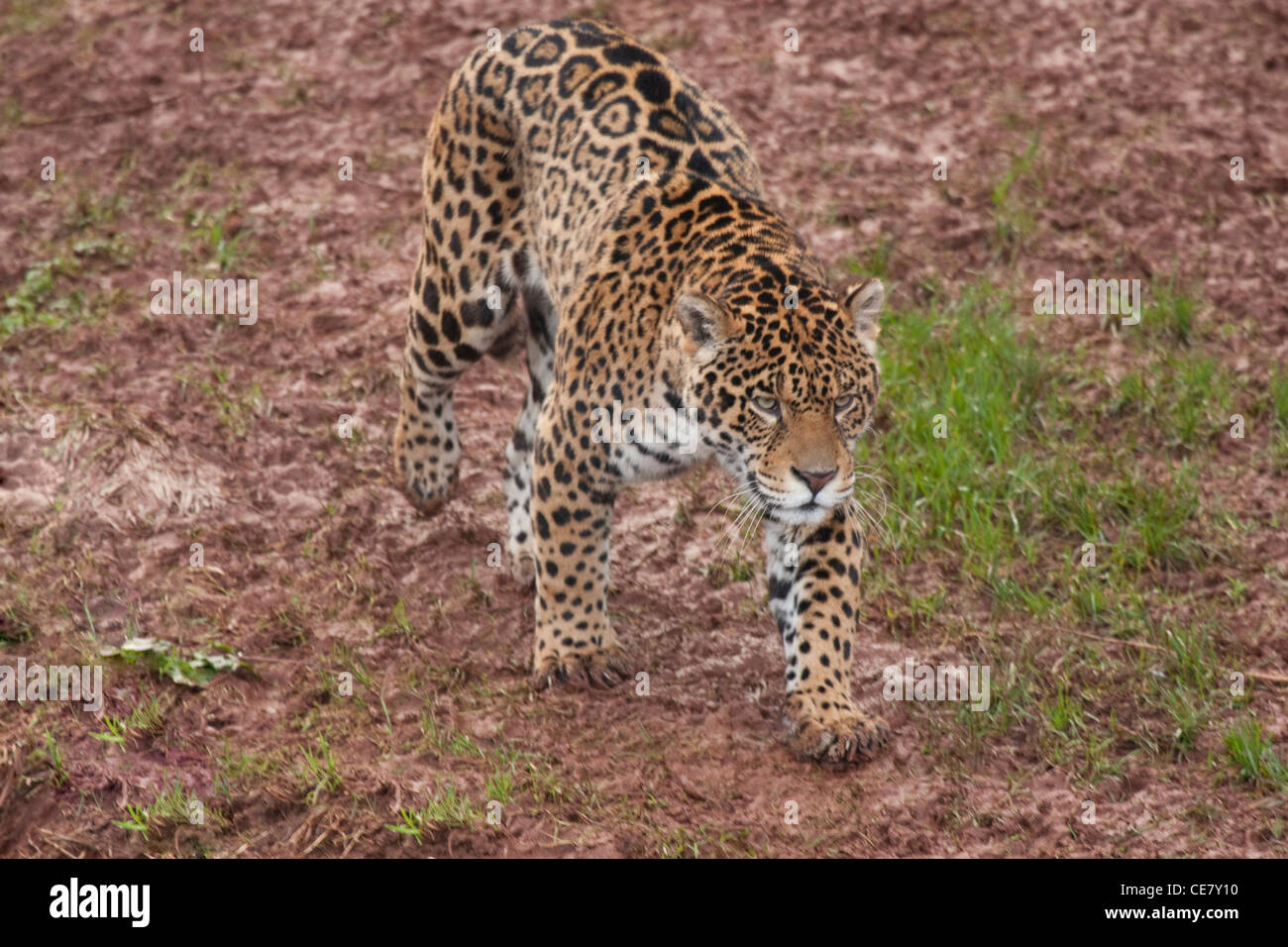Jaguar Panthera onca on the prowl - Stock Image
