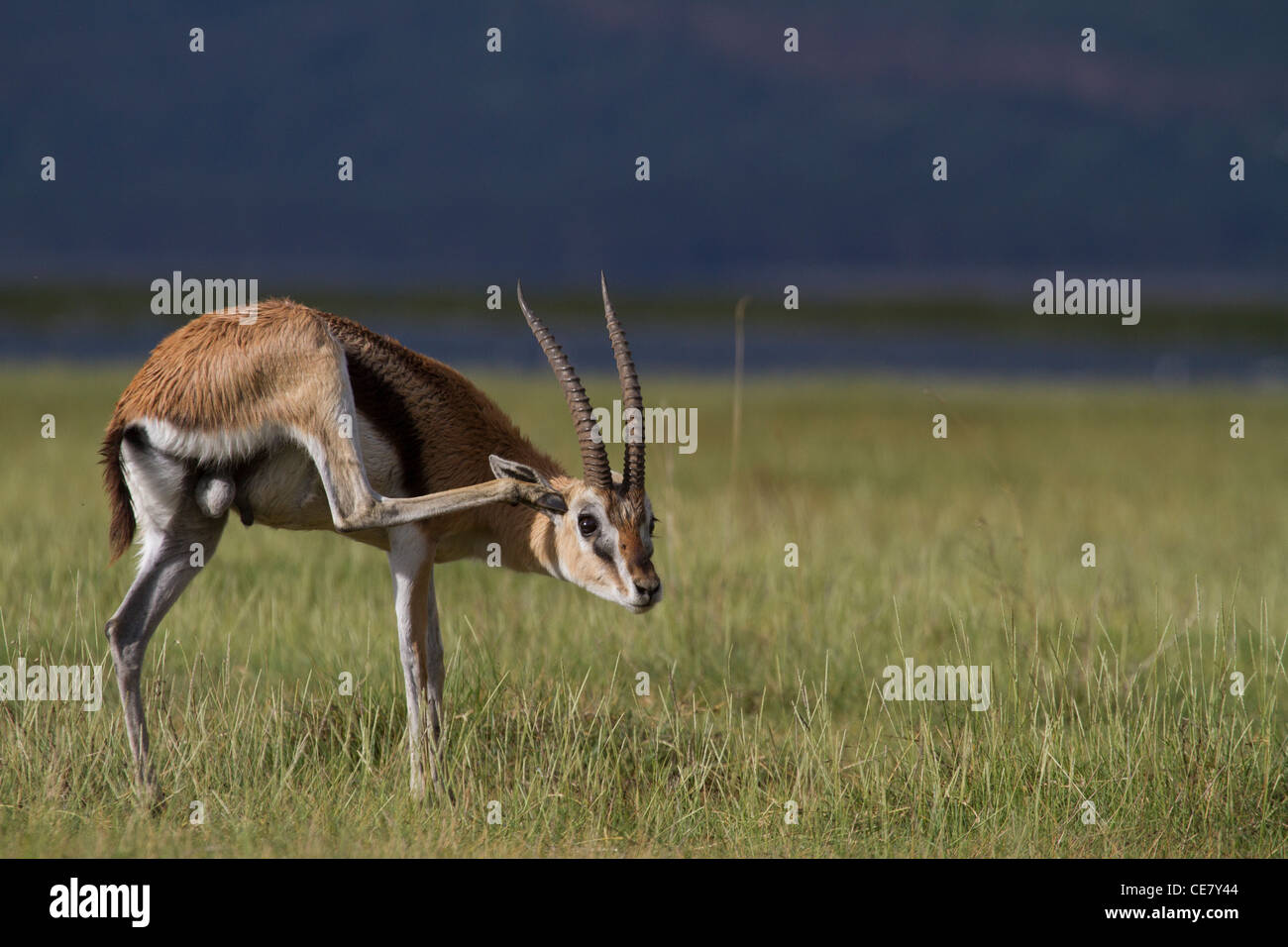 Thomsons (Red Fronted) Gazelle scratching his ear. Gazella ...