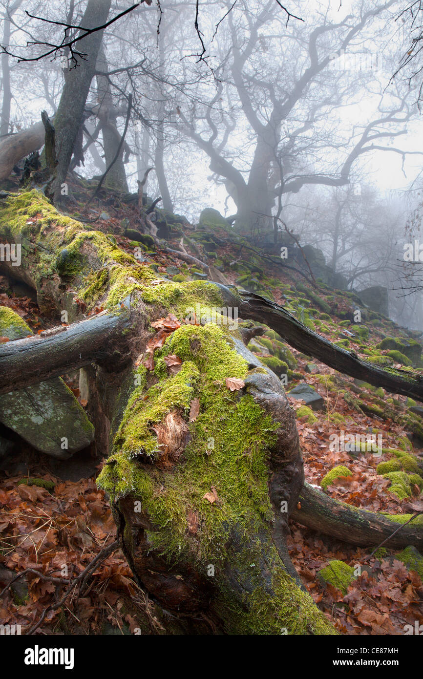 autumn forest in fog - stem - Stock Image
